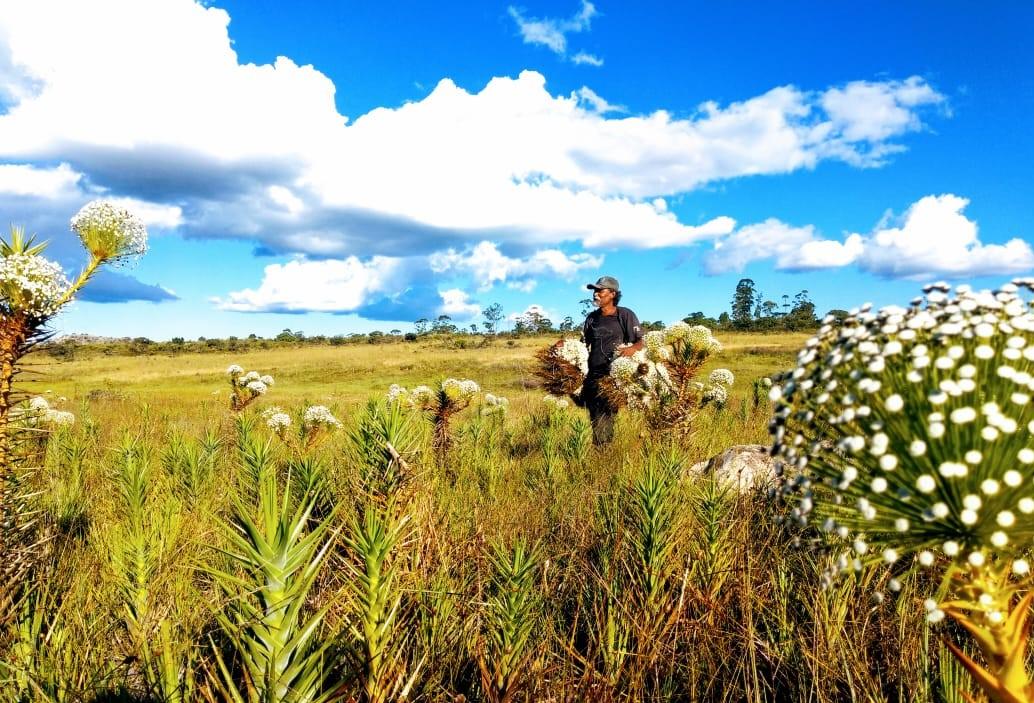 Comunidades apanhadoras/es de flores sempre vivas da porção meridional da Serra do Espinhaço (MG) participam da atividade. Foto: Arlis Alves